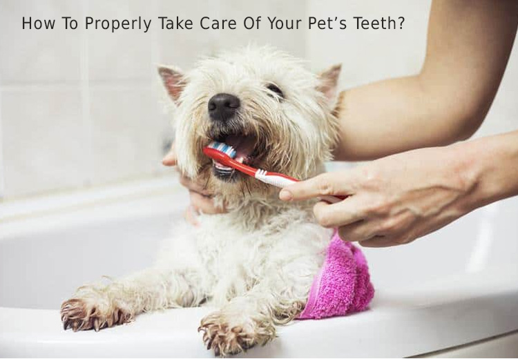 How To Properly Take Care Of Your Pets Teeth?